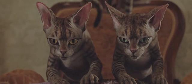 Os gatos siamese